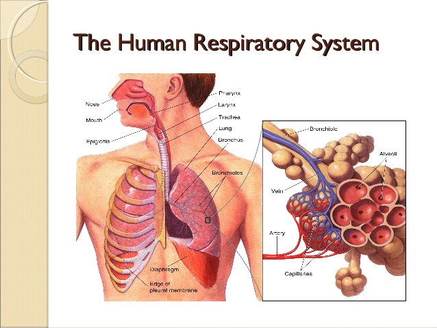 comparative-anatomy-respiratory-system-12-638